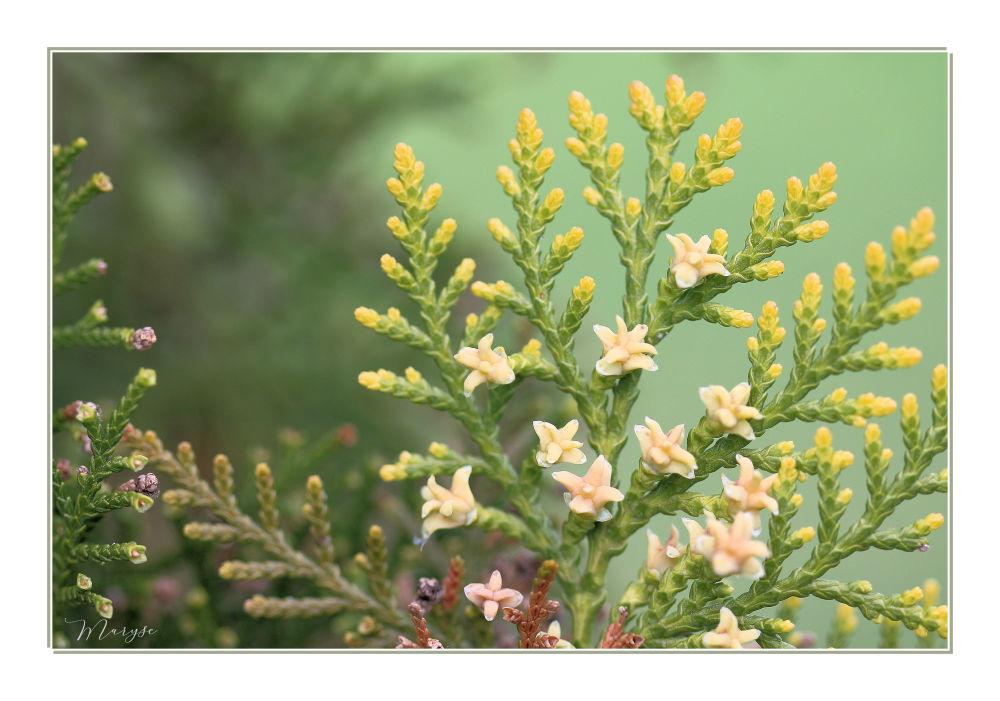 Fleurs de Thuya