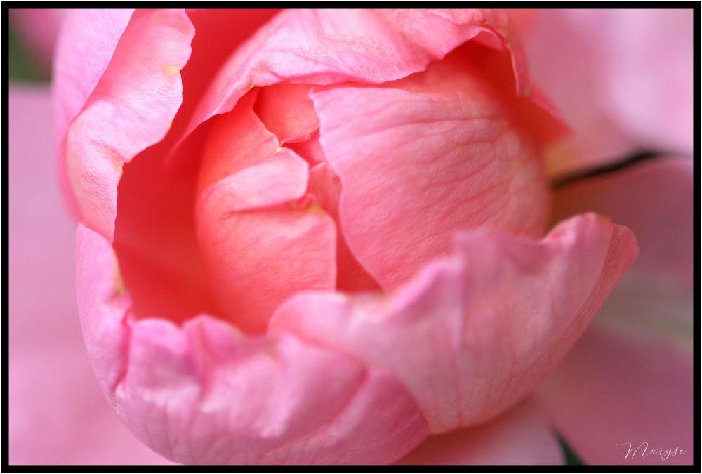 Coeur de rose