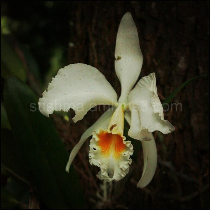 Orchids Kauai