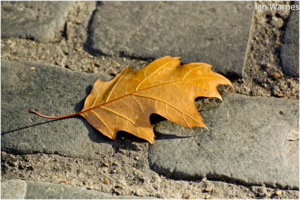 Leaf on Cobblestone