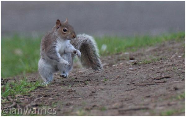 Hopping Squirrel