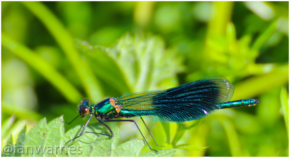 Dragon Fly2