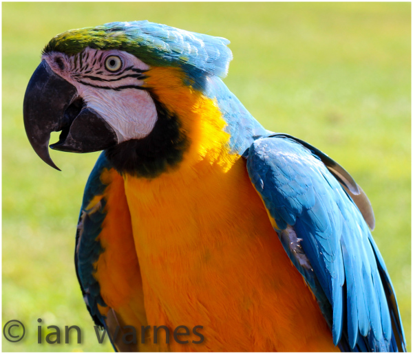 Macaw profile