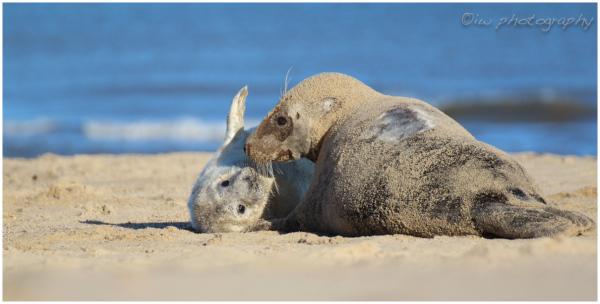 Seals at Horsey Beach