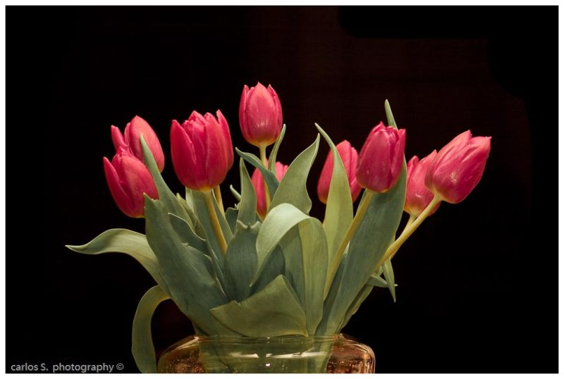Red Tulipes...
