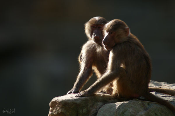 baboons in the sun