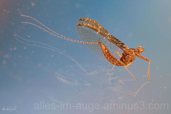 mayfly on ice II
