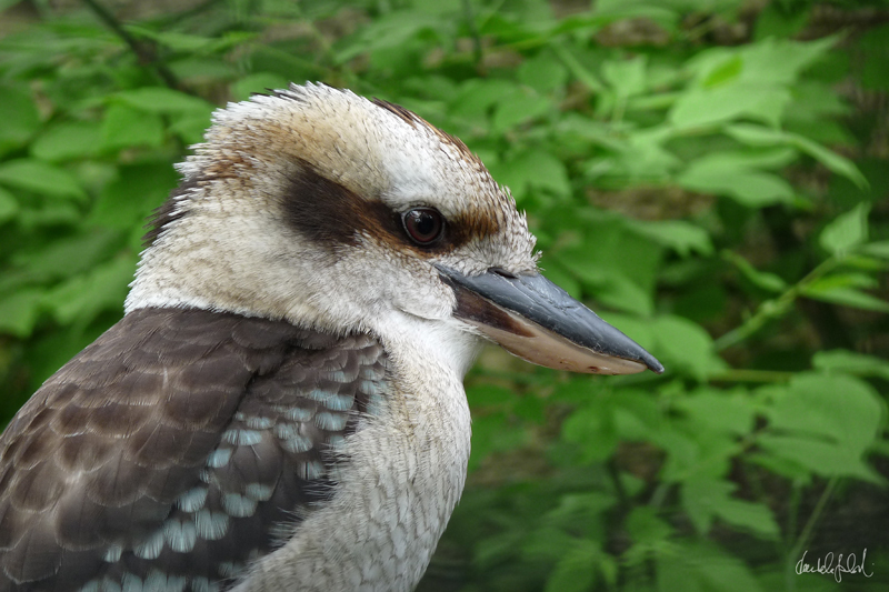 kookaburra without any old gumtree