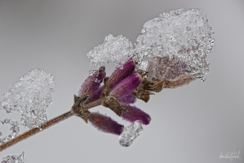 iced lavender