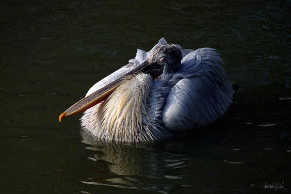 1/3 pelican
