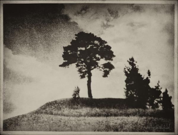 The Napoleon Pine