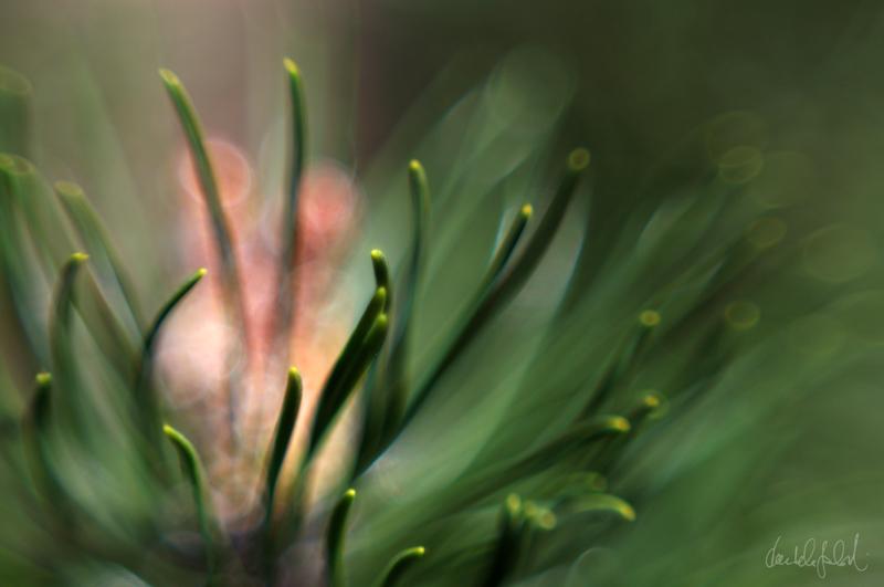 dreaming pine