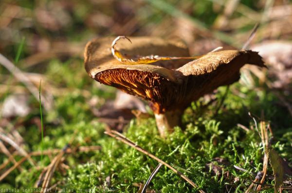 more mushroom