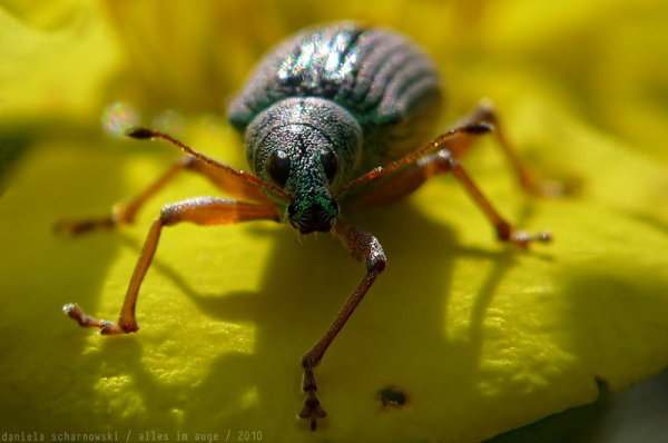 green weevil dance