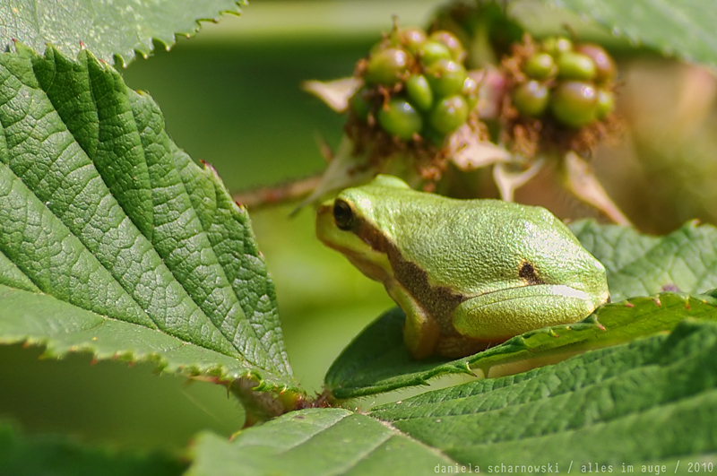 frog in the bushes