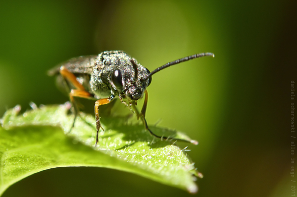 common sawfly