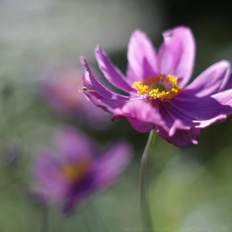 windflower `
