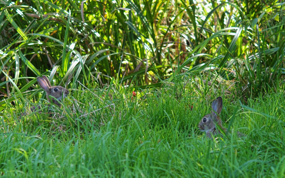 common rabbits