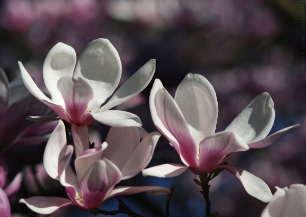 VI - magnolia absolut
