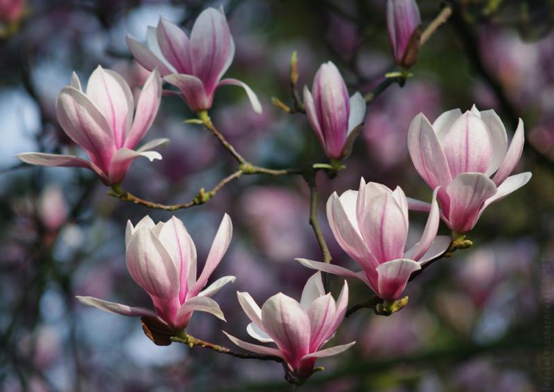 VII - magnolia absolut