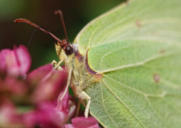 common brimstone close-up
