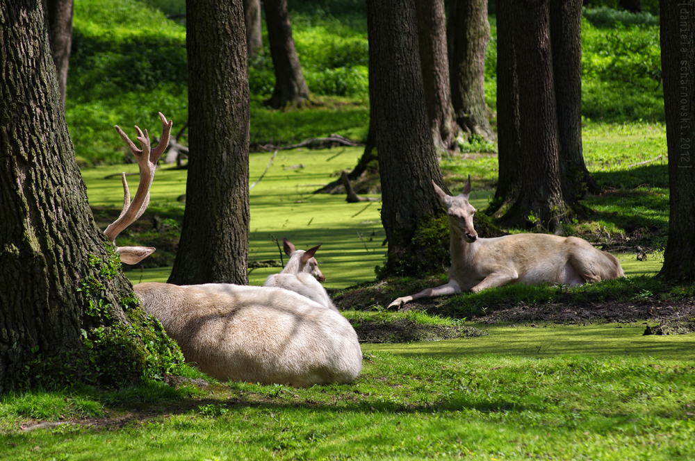 white deer family