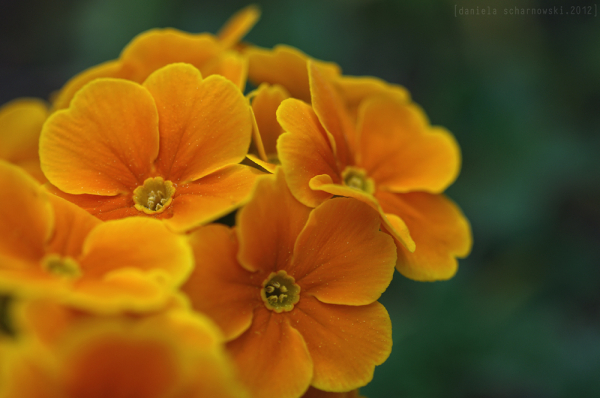 yellow primula