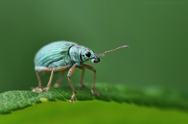 another green weevil