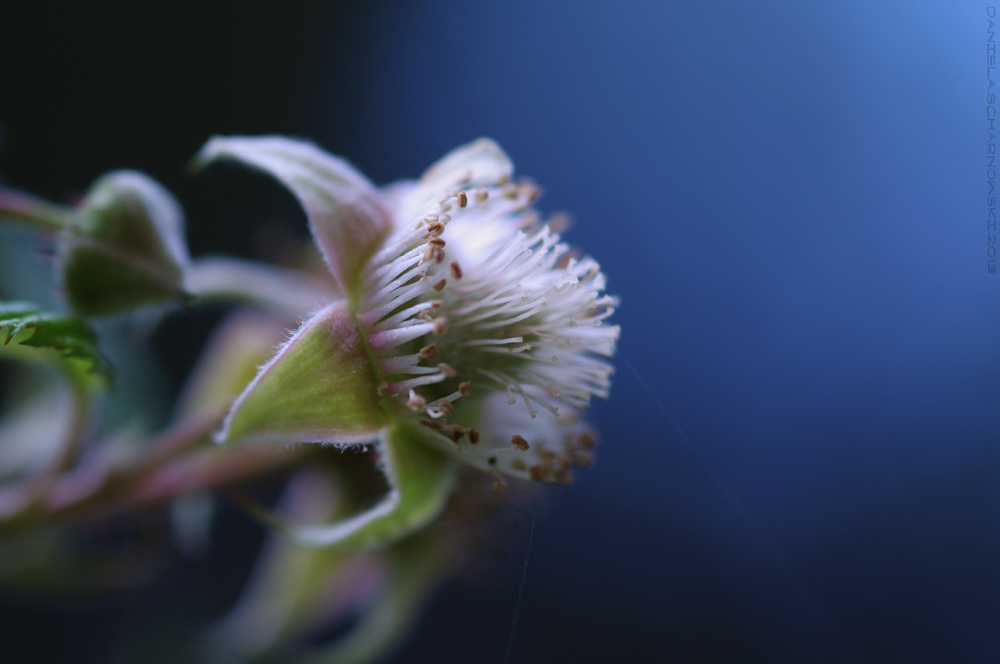 between flower and fruit