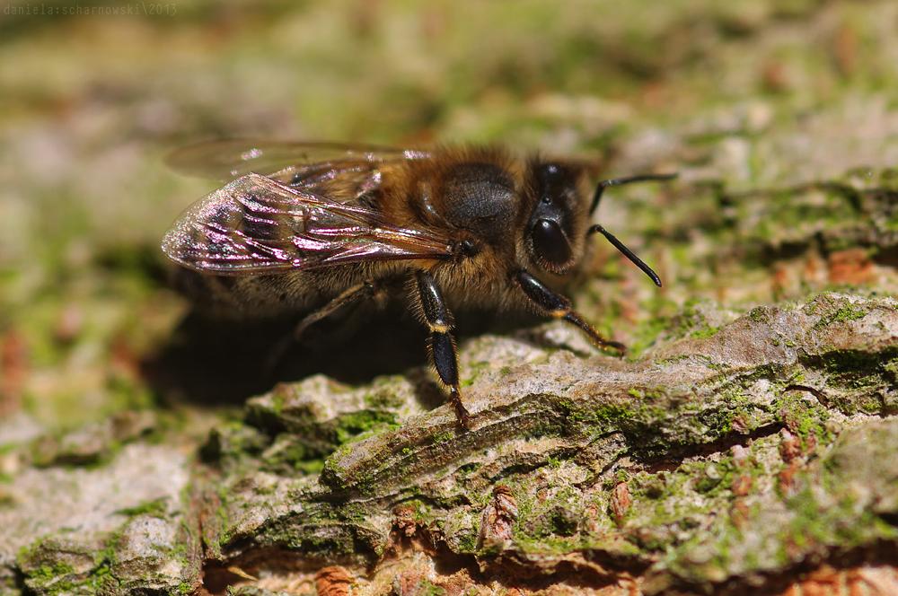 sunbathing bee