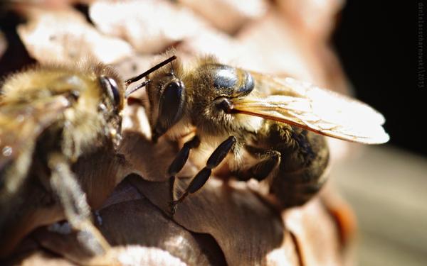 gossiping bees