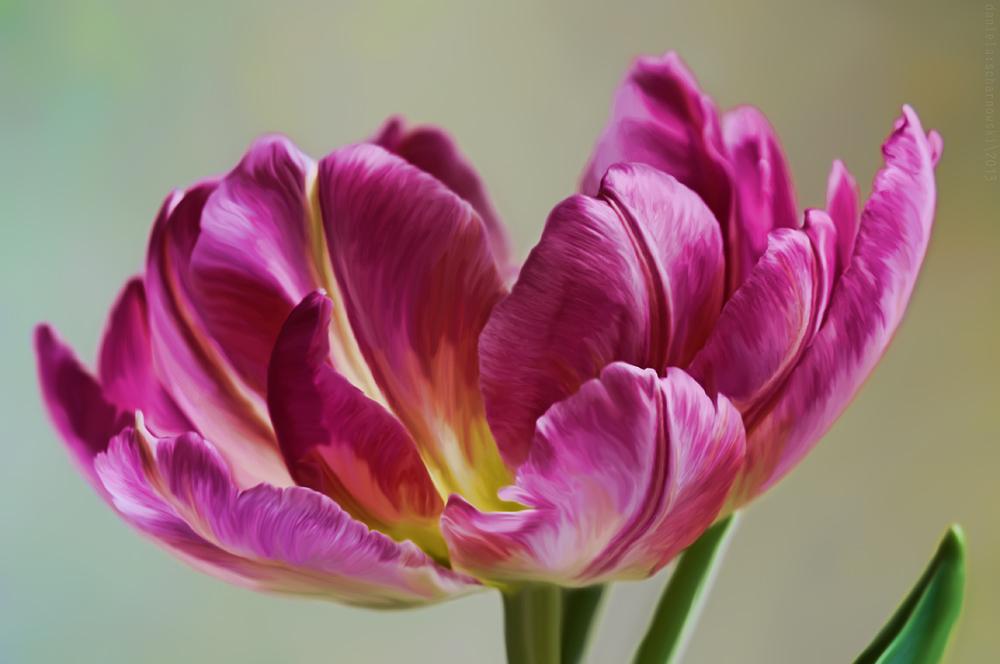 pretty tulip
