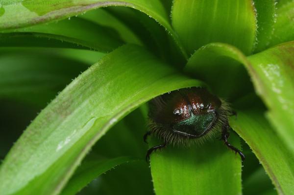 Phyllopertha horticola´s