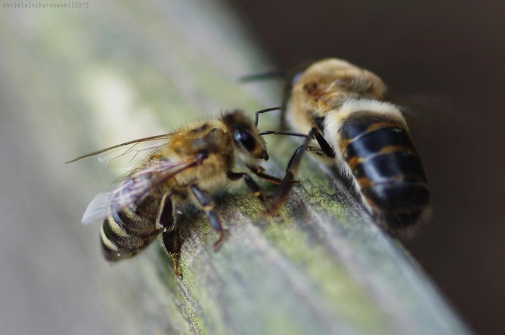 worker bee & drone