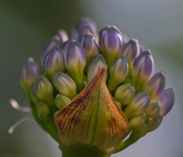 flower dawn