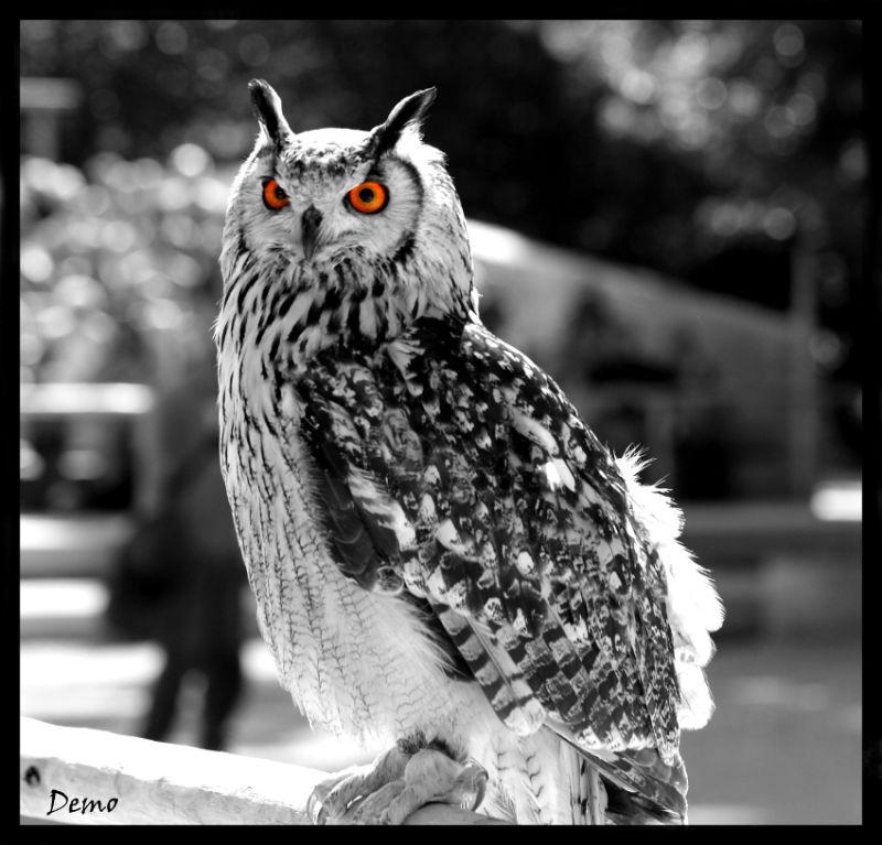chouette hibou owl paradisio