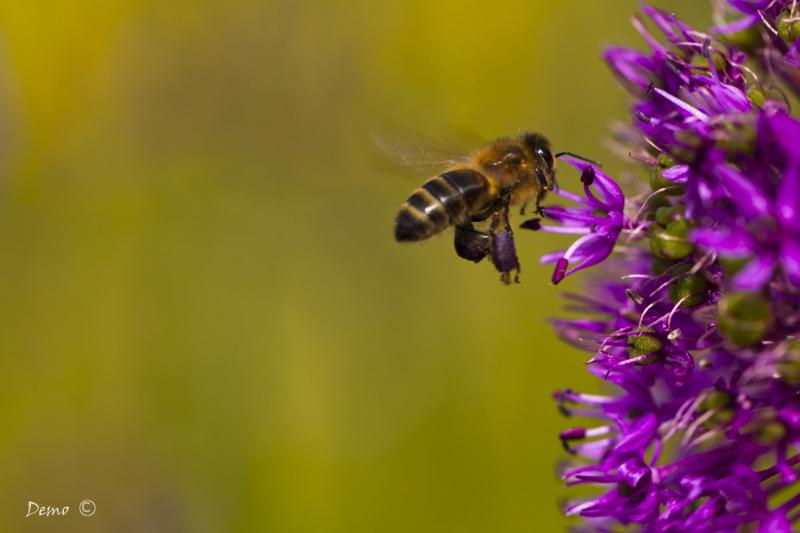abeille pollinisation hyménoptère