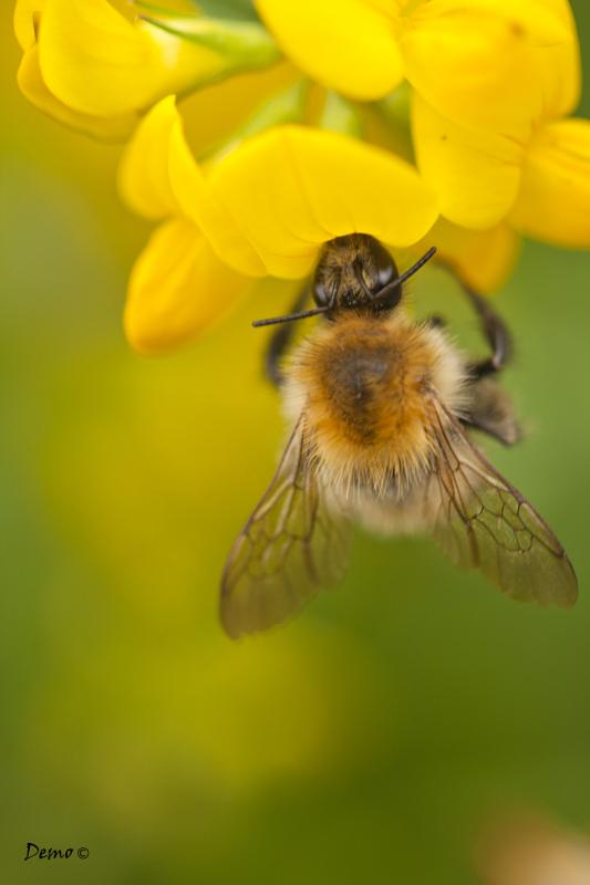 abeille bee macro