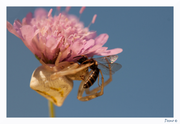 macro araignée thomisidae