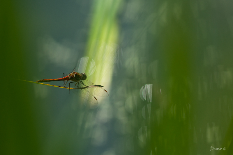 dragonfly, libellule, demophoto