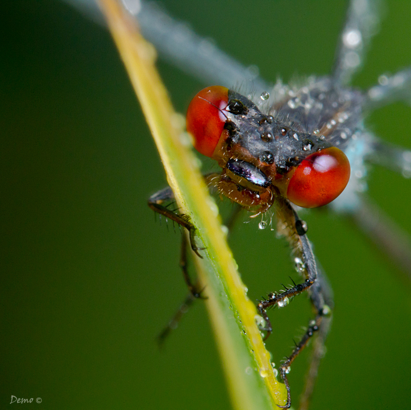 dragonfly, libellule, demophoto, eyes, red