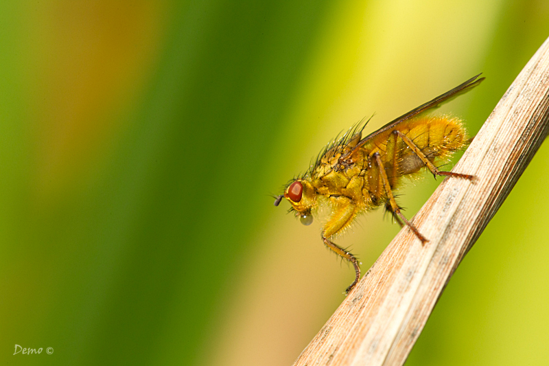 fly, mouche, goutte, Demophoto
