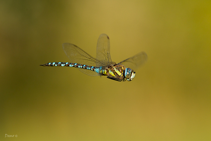 dragonfly, libellule, demophoto, Aeschne mixte