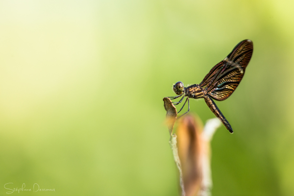 Iron Dragonfly