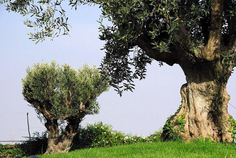 Au soleil des oliviers