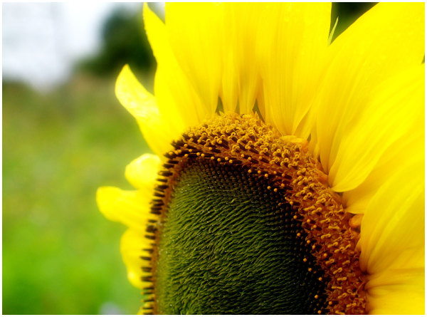 Floress, sunflower