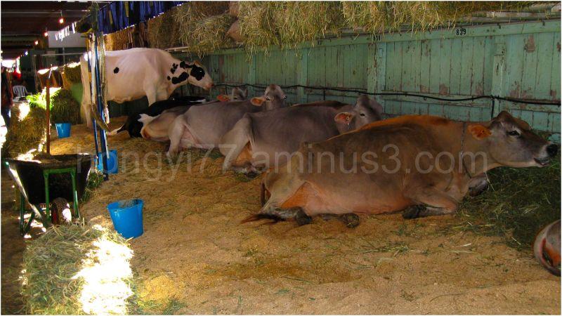 Cows at Ekka 2009