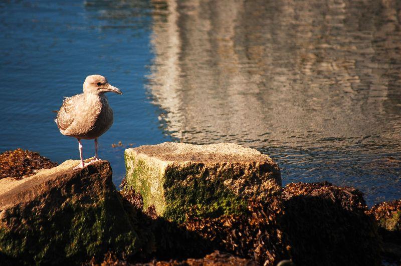 Gull at Boston Harbor