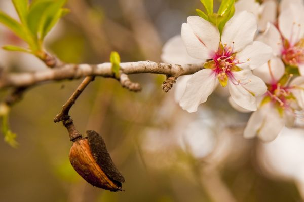 Almond Tree, Israel