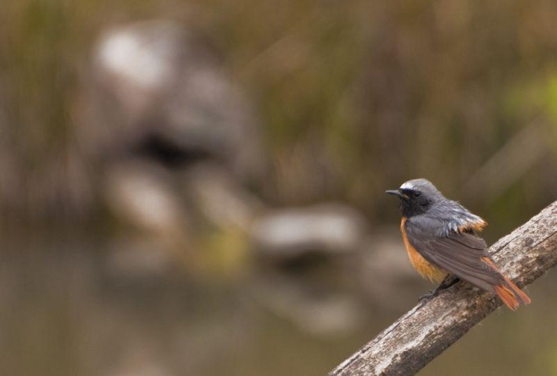 Common Redstart at the JBO